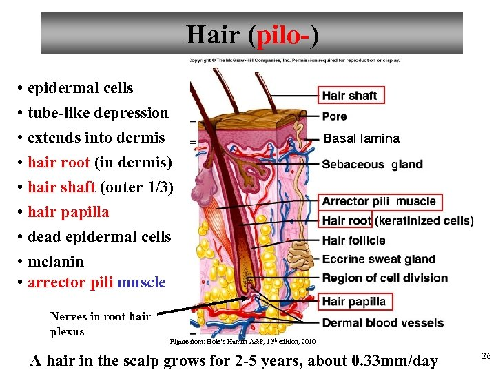 Hair (pilo-) • epidermal cells • tube-like depression • extends into dermis • hair