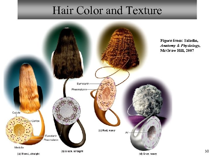 Hair Color and Texture Figure from: Saladin, Anatomy & Physiology, Mc. Graw Hill, 2007