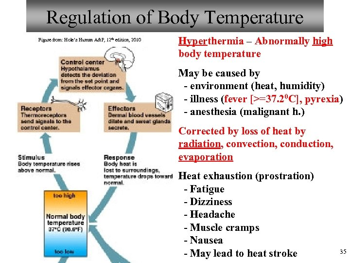 Regulation of Body Temperature Figure from: Hole's Human A&P, 12 th edition, 2010 Hyperthermia