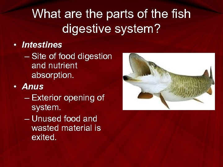 What are the parts of the fish digestive system? • Intestines – Site of