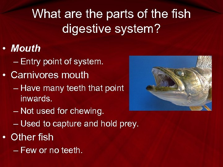 What are the parts of the fish digestive system? • Mouth – Entry point