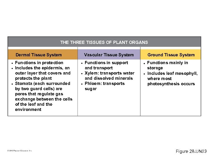 THE THREE TISSUES OF PLANT ORGANS Dermal Tissue System • Functions in protection •