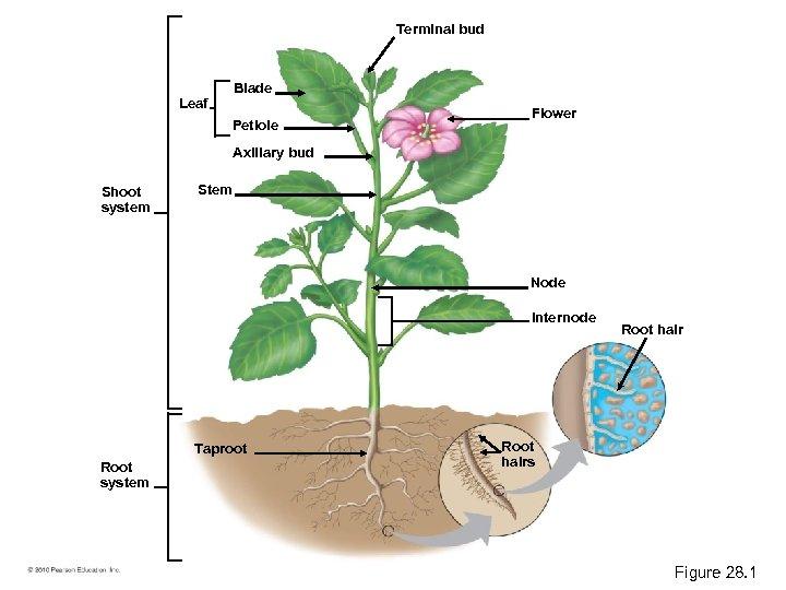 Terminal bud Blade Leaf Petiole Flower Axillary bud Shoot system Stem Node Internode Taproot