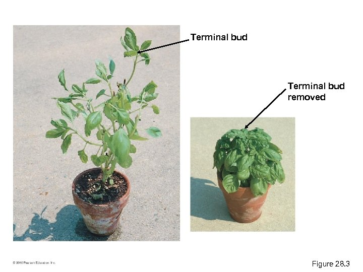 Terminal bud removed Figure 28. 3