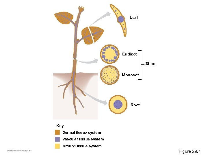 Leaf Eudicot Stem Monocot Root Key Dermal tissue system Vascular tissue system Ground tissue