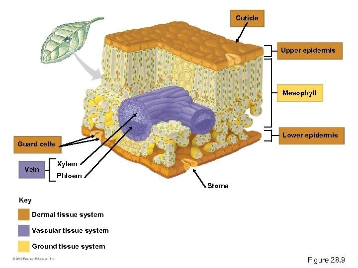 Cuticle Upper epidermis Mesophyll Lower epidermis Guard cells Vein Xylem Phloem Stoma Key Dermal