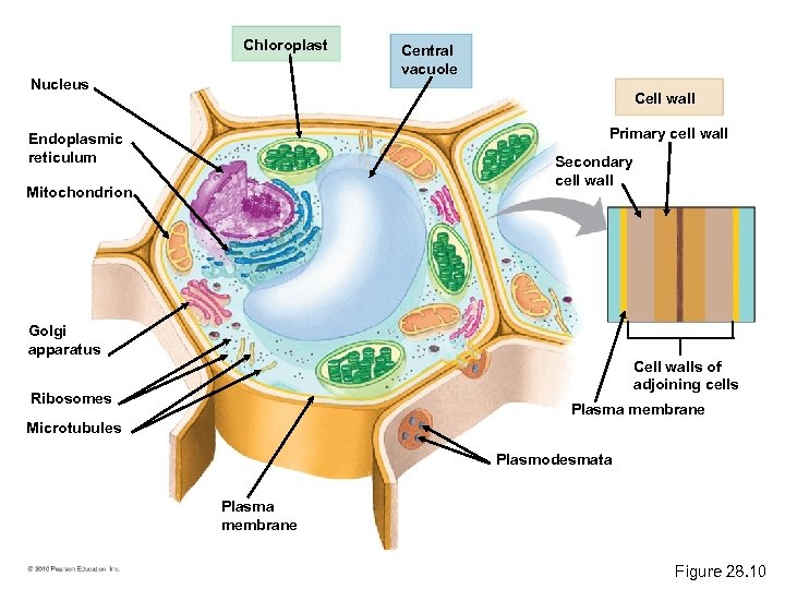 Chloroplast Nucleus Central vacuole Cell wall Primary cell wall Endoplasmic reticulum Secondary cell wall