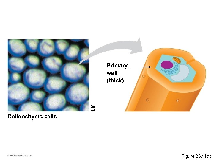 LM Primary wall (thick) Collenchyma cells Figure 28. 11 ac