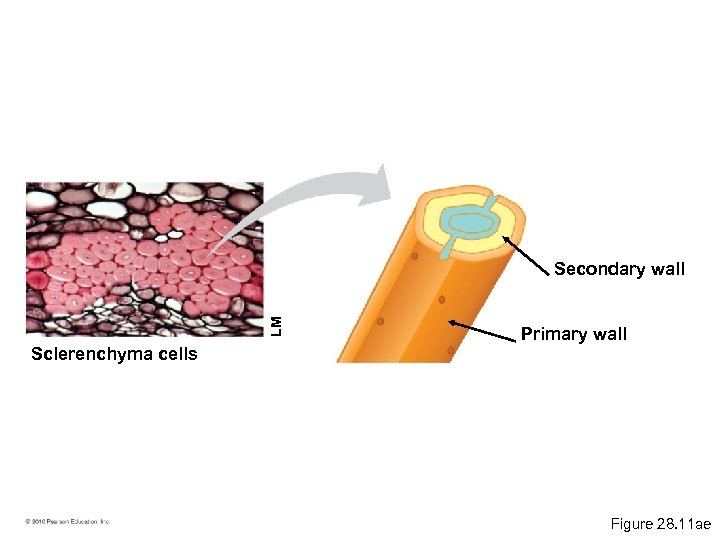 LM Secondary wall Primary wall Sclerenchyma cells Figure 28. 11 ae