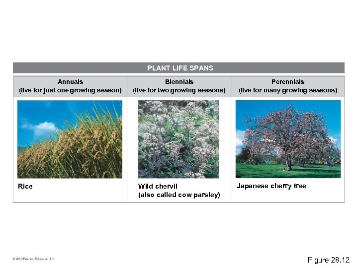 PLANT LIFE SPANS Annuals (live for just one growing season) Rice Biennials (live for