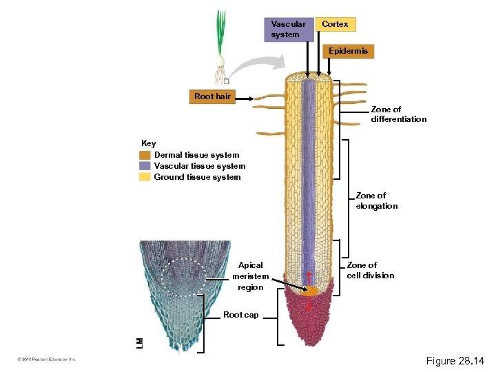 Vascular system Cortex Epidermis Root hair Zone of differentiation Key Dermal tissue system Vascular