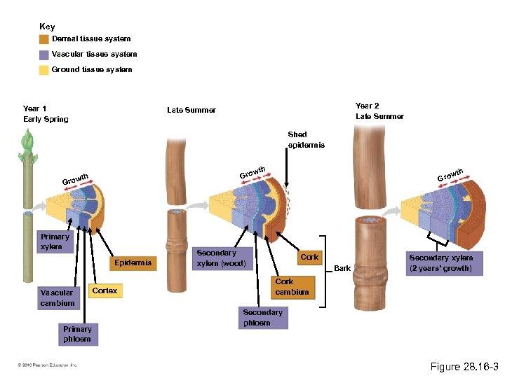 Key Dermal tissue system Vascular tissue system Ground tissue system Year 1 Early Spring