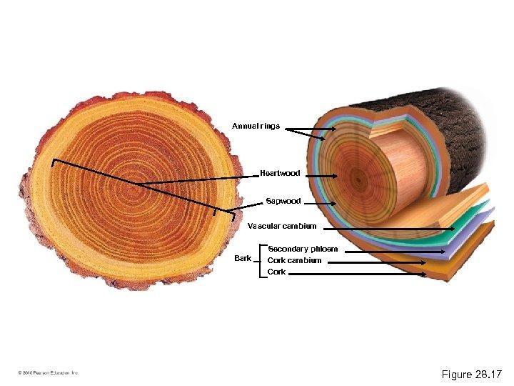Annual rings Heartwood Sapwood Vascular cambium Bark Secondary phloem Cork cambium Cork Figure 28.