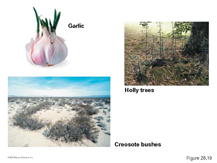 Garlic Holly trees Creosote bushes Figure 28. 19