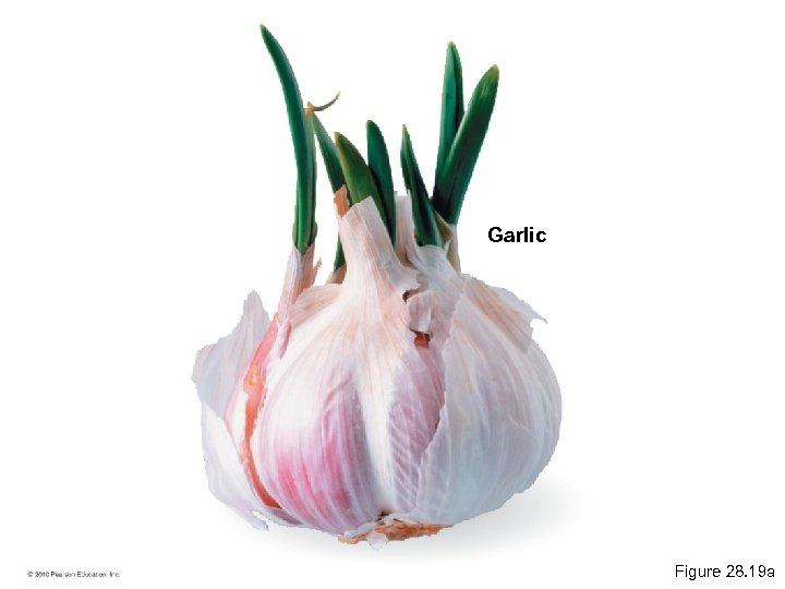 Garlic Figure 28. 19 a