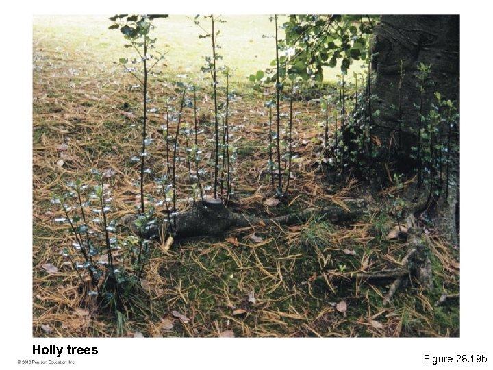 Holly trees Figure 28. 19 b
