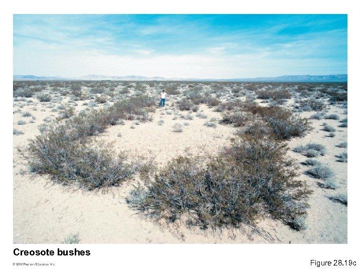 Creosote bushes Figure 28. 19 c