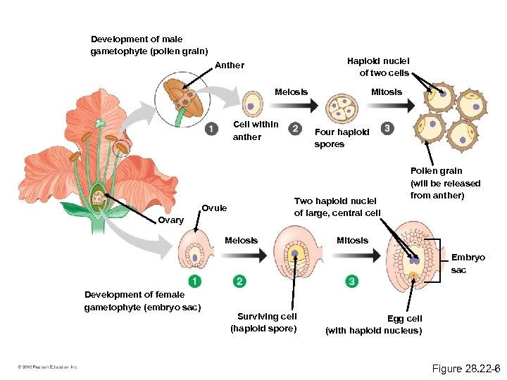Development of male gametophyte (pollen grain) Haploid nuclei of two cells Anther Meiosis Cell