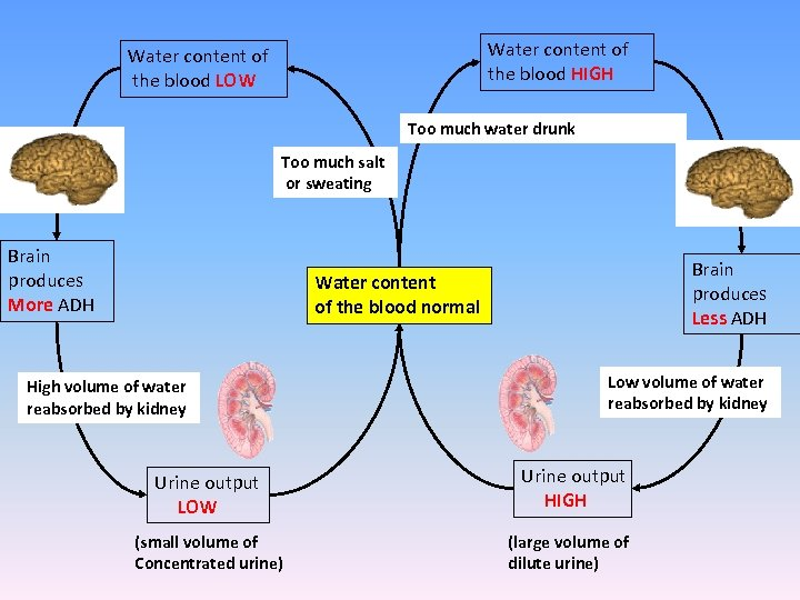 Water content of the blood HIGH Water content of the blood LOW Too much