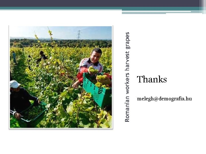 Romanian workers harvest grapes Thanks melegh@demografia. hu