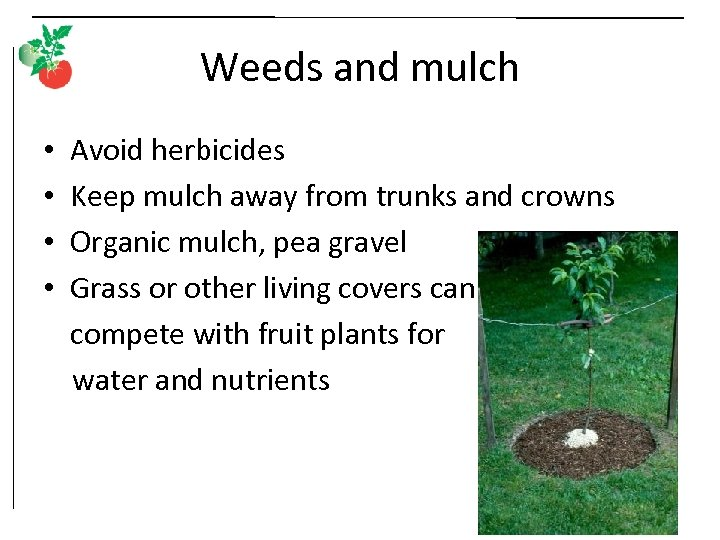 Weeds and mulch • • Avoid herbicides Keep mulch away from trunks and crowns