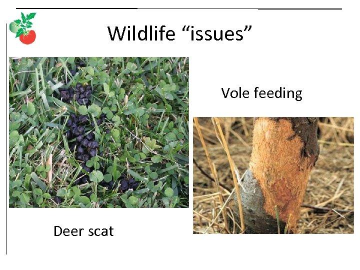"""Wildlife """"issues"""" Vole feeding Deer scat"""