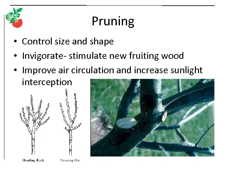 Pruning • Control size and shape • Invigorate- stimulate new fruiting wood • Improve