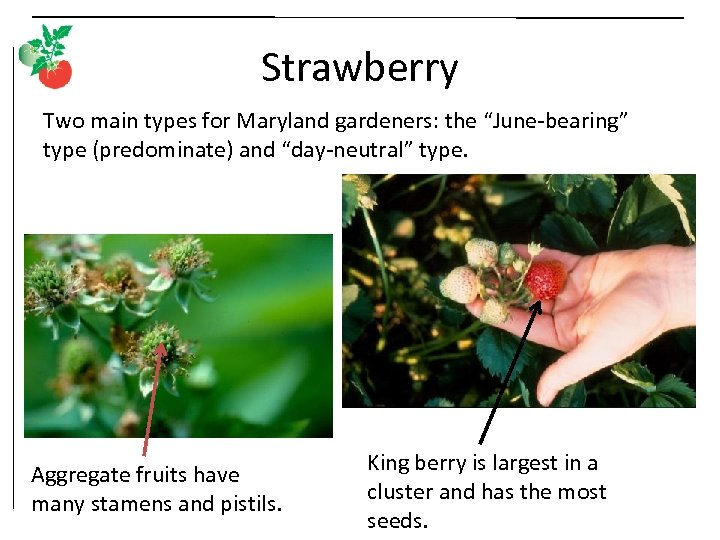 """Strawberry Two main types for Maryland gardeners: the """"June-bearing"""" type (predominate) and """"day-neutral"""" type."""