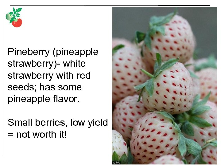 Pineberry (pineapple strawberry)- white strawberry with red seeds; has some pineapple flavor. Small berries,