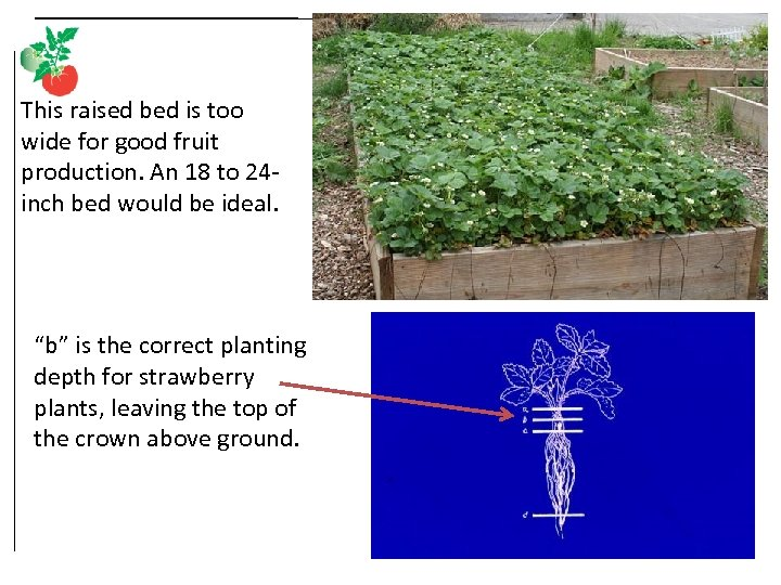 This raised bed is too wide for good fruit production. An 18 to 24