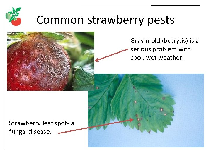 Common strawberry pests Gray mold (botrytis) is a serious problem with cool, wet weather.