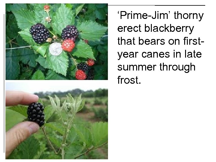 'Prime-Jim' thorny erect blackberry that bears on firstyear canes in late summer through frost.