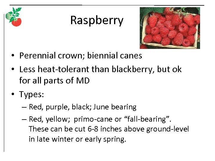 Raspberry • Perennial crown; biennial canes • Less heat-tolerant than blackberry, but ok for