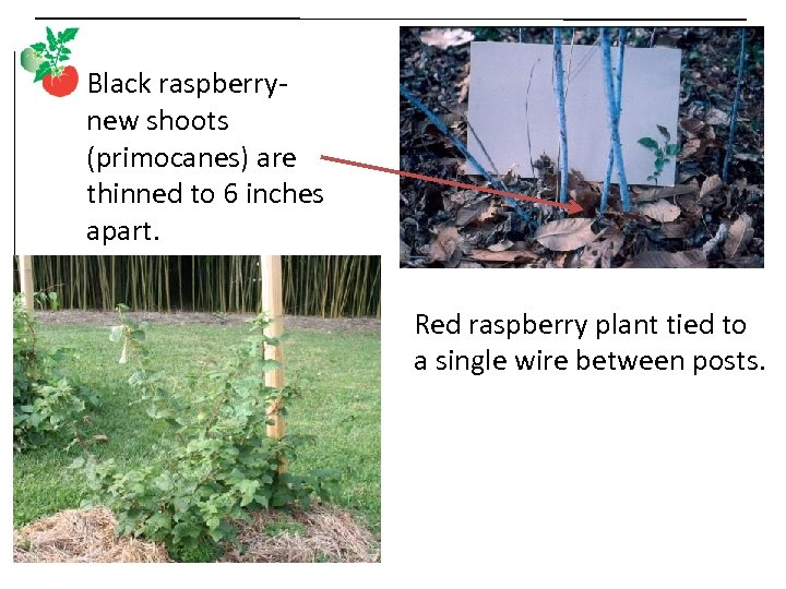Black raspberrynew shoots (primocanes) are thinned to 6 inches apart. Red raspberry plant tied