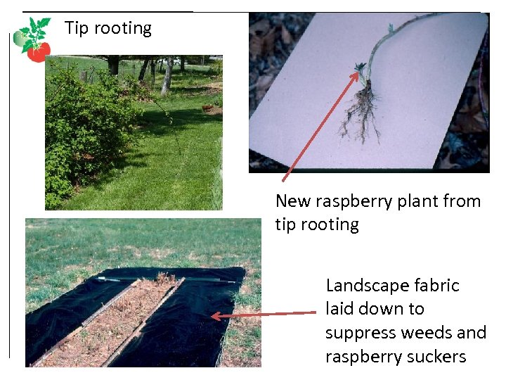 Tip rooting New raspberry plant from tip rooting Landscape fabric laid down to suppress