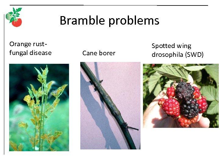 Bramble problems Orange rustfungal disease Cane borer Spotted wing drosophila (SWD)