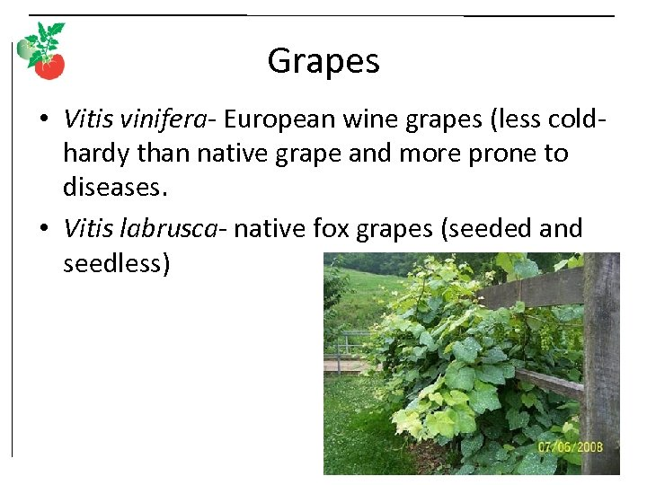 Grapes • Vitis vinifera- European wine grapes (less coldhardy than native grape and more