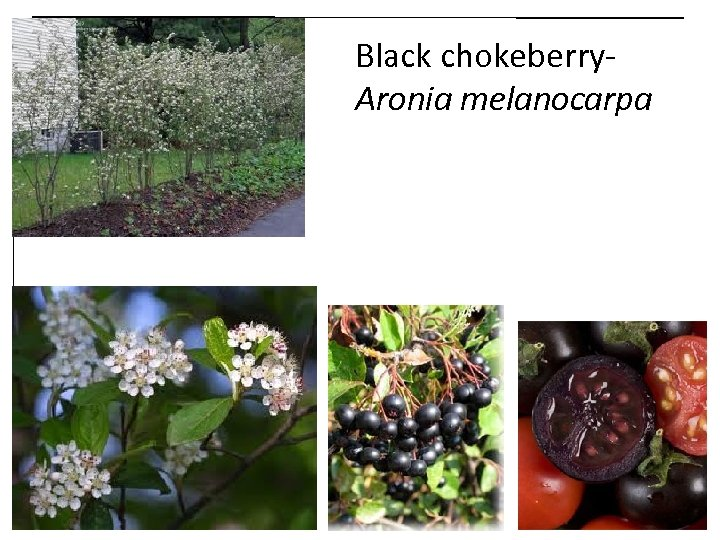 Black chokeberry. Aronia melanocarpa