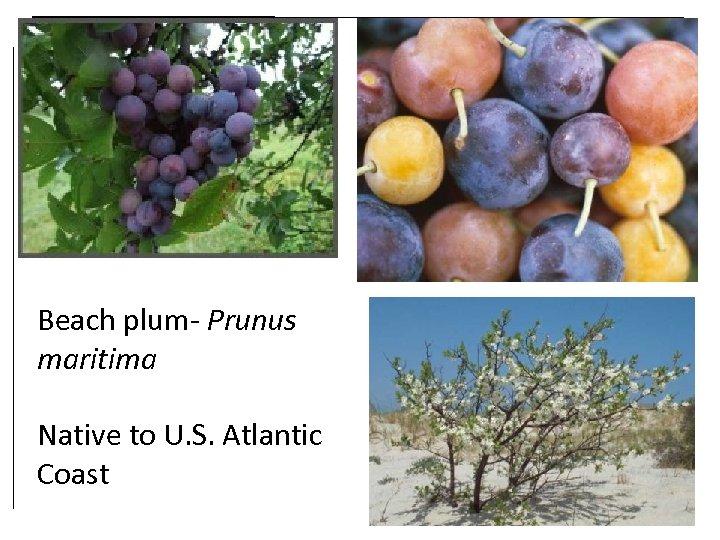 Beach plum- Prunus maritima Native to U. S. Atlantic Coast