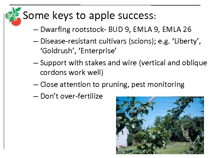 Some keys to apple success: – Dwarfing rootstock- BUD 9, EMLA 26 – Disease-resistant