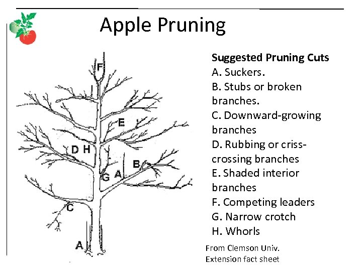 Apple Pruning Suggested Pruning Cuts A. Suckers. B. Stubs or broken branches. C. Downward-growing