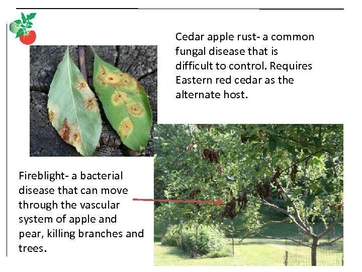 Cedar apple rust- a common fungal disease that is difficult to control. Requires Eastern