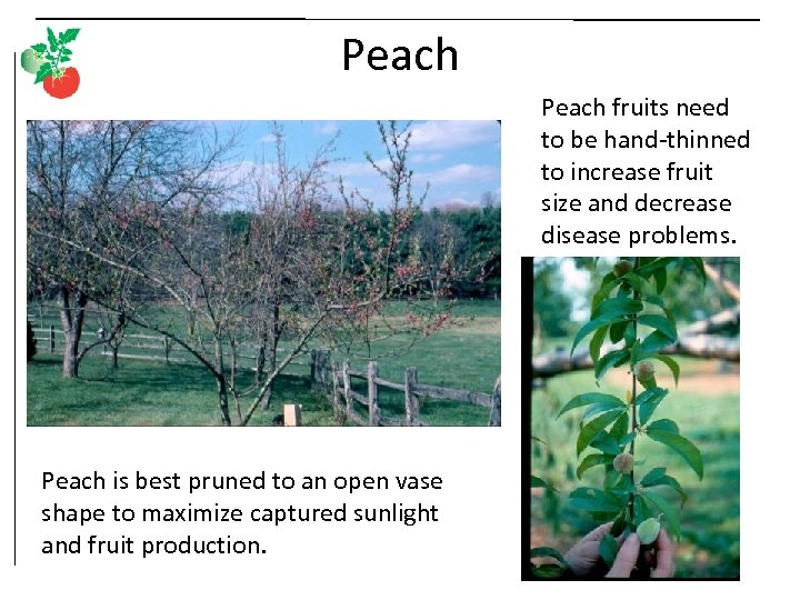 Peach fruits need to be hand-thinned to increase fruit size and decrease disease problems.