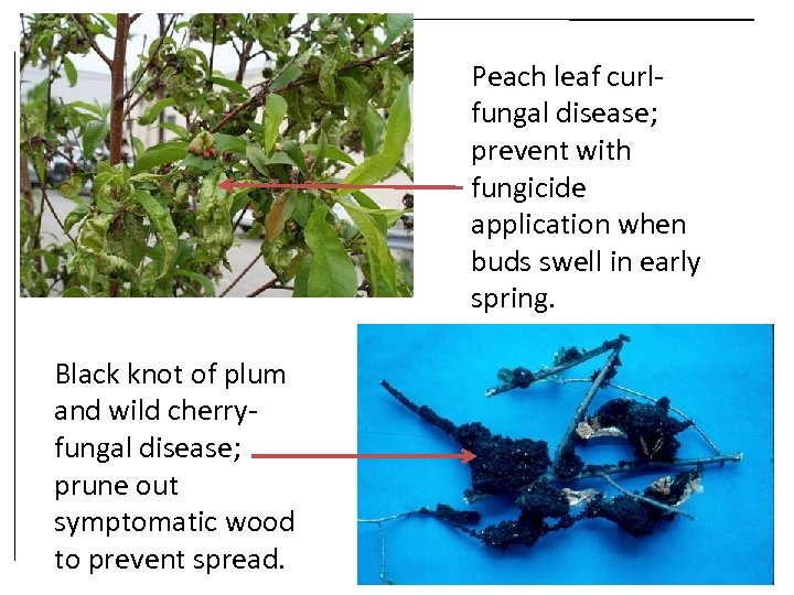 Peach leaf curlfungal disease; prevent with fungicide application when buds swell in early spring.