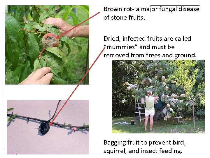 Brown rot- a major fungal disease of stone fruits. Dried, infected fruits are called