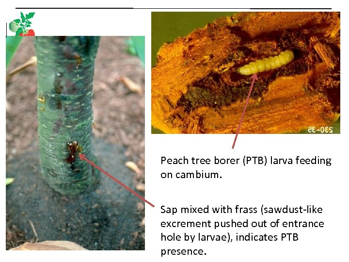 Peach tree borer (PTB) larva feeding on cambium. Sap mixed with frass (sawdust-like excrement
