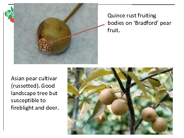 Quince rust fruiting bodies on 'Bradford' pear fruit. Asian pear cultivar (russetted). Good landscape