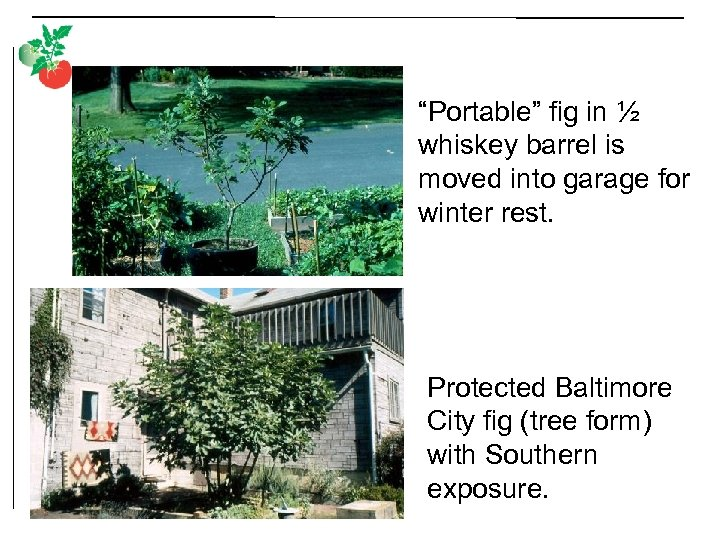 """""""Portable"""" fig in ½ whiskey barrel is moved into garage for winter rest. Protected"""