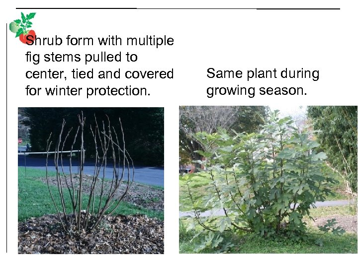 Shrub form with multiple fig stems pulled to center, tied and covered for winter