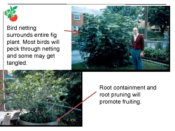 Bird netting surrounds entire fig plant. Most birds will peck through netting and some